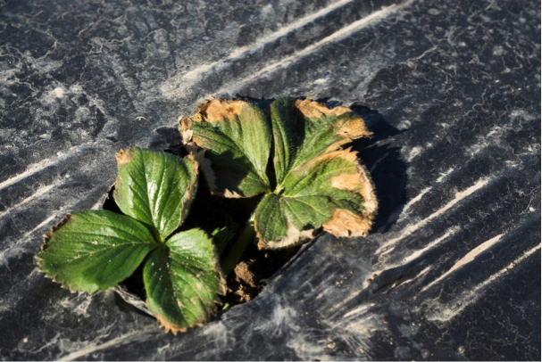 ABIOTIC DAMAGE ON STRAWBERRY MIMICKING FUNGAL DISEASE