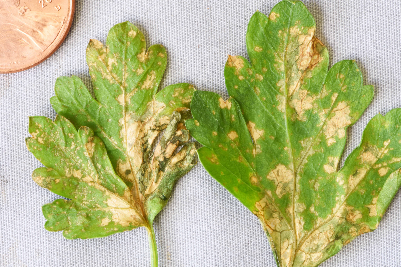 Bacterial Leaf Spot of Parsley: 2018 Outbreaks
