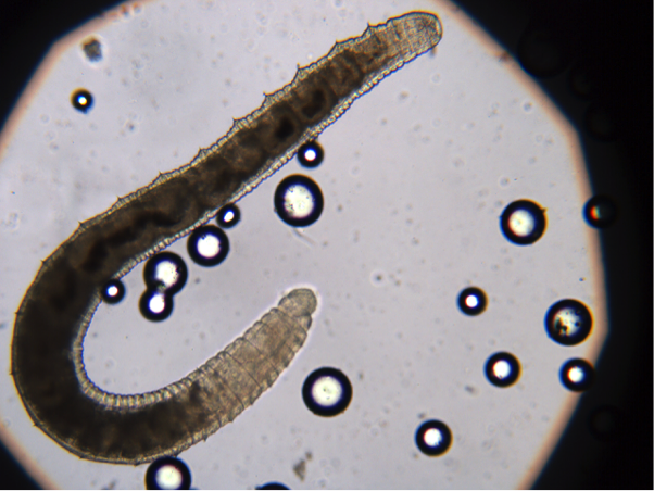 SMALL WHITE WORMS IN FIELDS DO NOT ATTACK CROPS