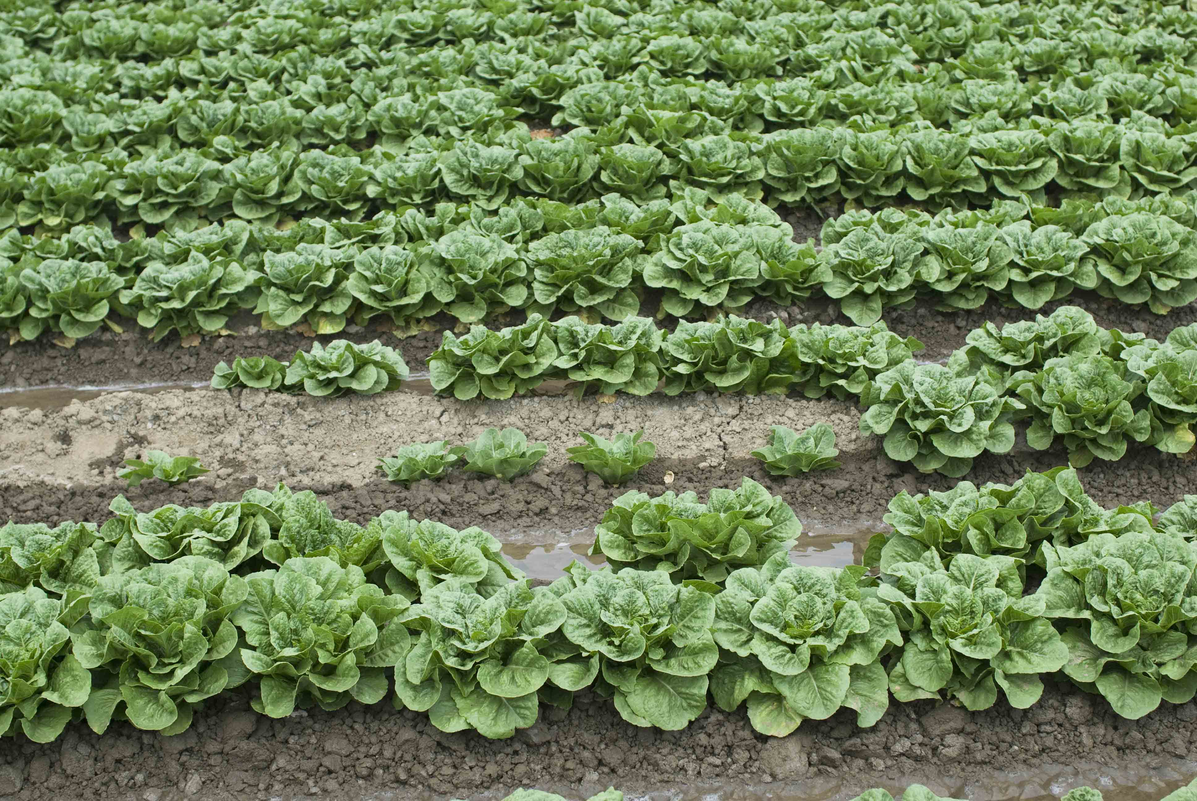 BLACK ROOT ROT OF LETTUCE BECOMING MORE COMMON IN CALIFORNIA